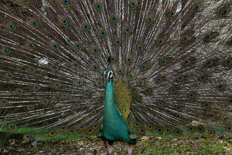 Peafowl royaltyfria bilder