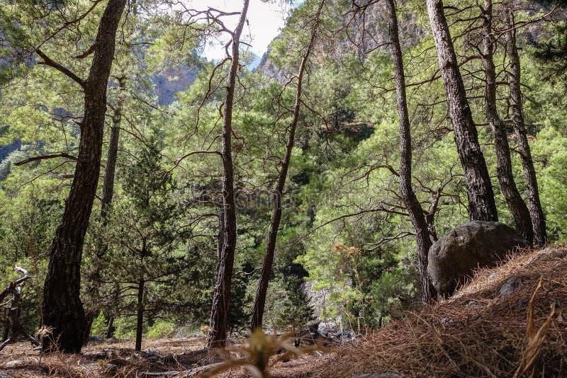 en härlig pinjeskog med sällsynt sörjer, ett bra ställe för går royaltyfri fotografi