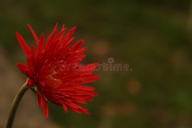 En härlig röd tusenskönablomma bredvid en flod royaltyfri bild