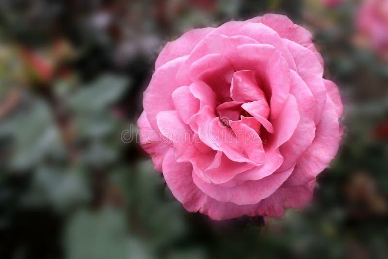 En härlig rosa rosa färg i trädgården royaltyfri foto
