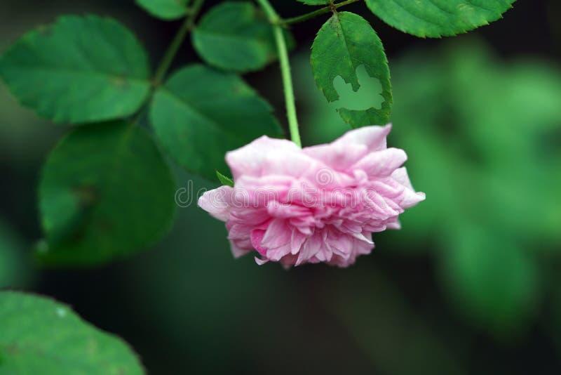 En härlig rosa färgros på trädgård royaltyfri bild