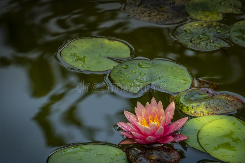 En härlig rosa näckros Marliacea Rosea i ett damm med bakgrund av gräsplansidor i solljus Nymphaea med droppar av vatten på fotografering för bildbyråer