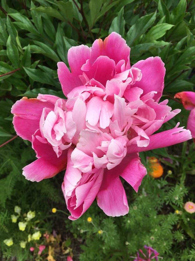 En härlig rosa ombrépion arkivbild