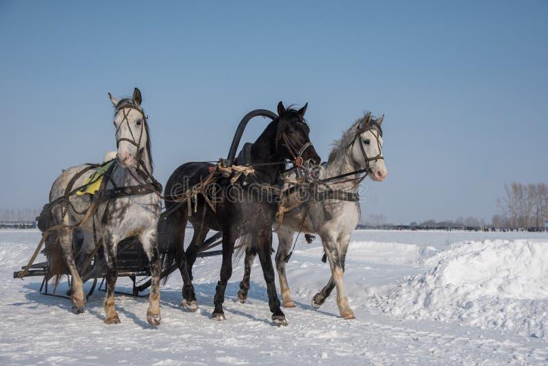 En härlig rysk trojka av hästar rider till och med arenan in royaltyfri foto