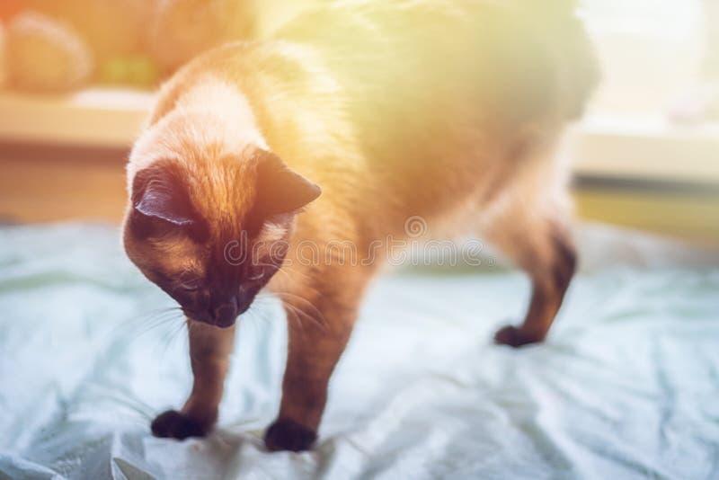 En härlig Siamese katt ser ner En katt är rörelsehindrad - ett saknat ben, tre tafsar royaltyfria foton