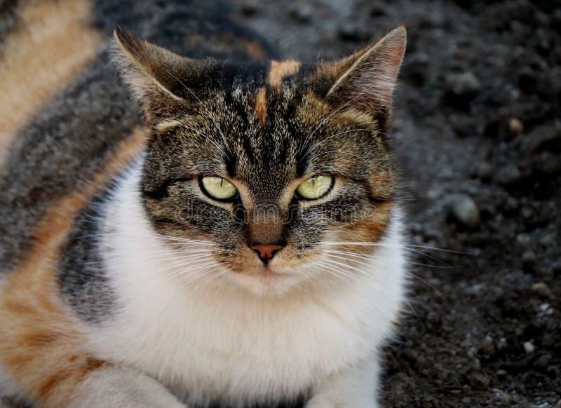 En härlig sikt av den inhemska katten med den strikta framsidan som ser till kameran Denna är min bästa vänLiza Hon färger är ora royaltyfria foton
