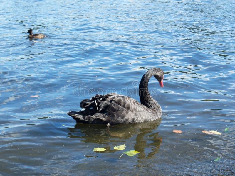 En härlig simning för svart svan i ett damm i höst arkivfoto