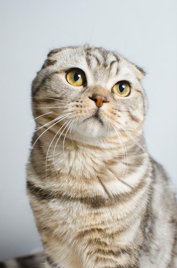 En härlig skotsk katt Djurskydd arkivfoton