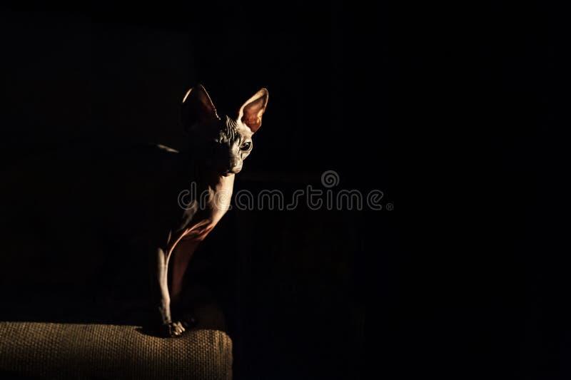 En härlig stående av en sagolik främmande katt Konturer den gråa katten av sfinxen i en mörk bottenlägetangent Bakgrund och utrym arkivbild