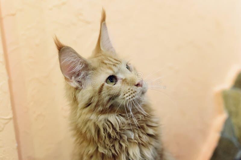 En härlig stor röd katt Maine Coon Närbild selektiv fokus royaltyfria foton