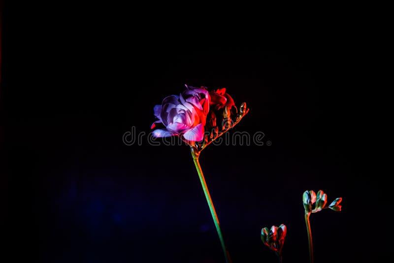 En härlig vit freesia tände med rött och blått ljus arkivfoto