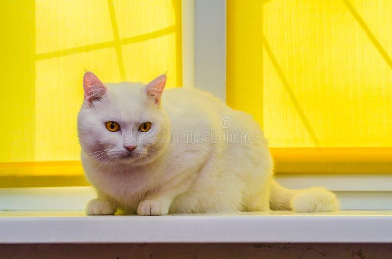En härlig vit hem- katt sitter på en fönsterbräda framme av en gul gardin arkivbild