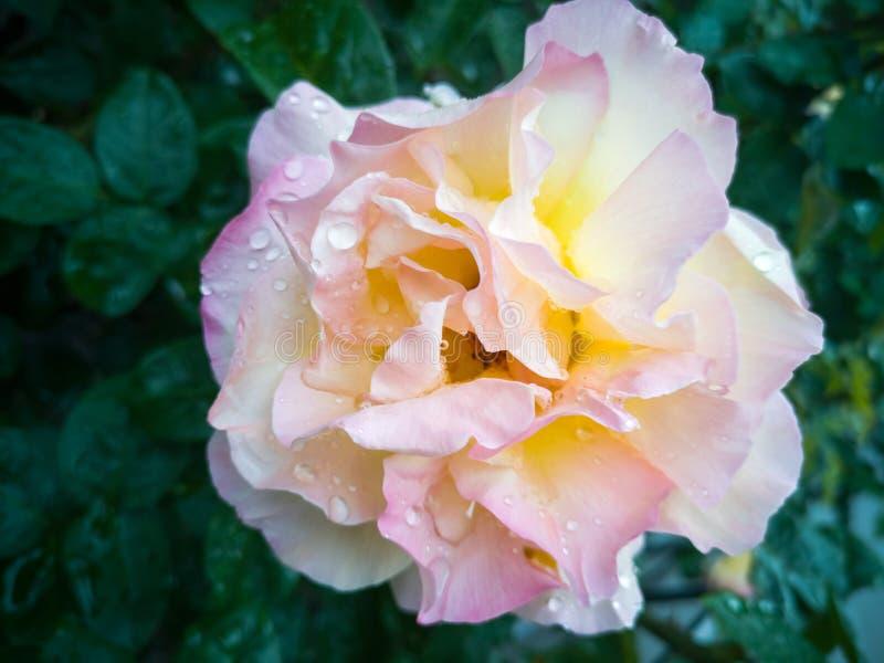 En härlig vit och rosa skugga för te-bland ros, arkivbild