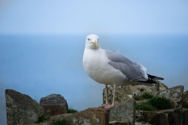 En h?rlig vit seagull som poserar p? en stenskyddsmur mot havet vid havet i port Isaac, Cornwall, England royaltyfri bild
