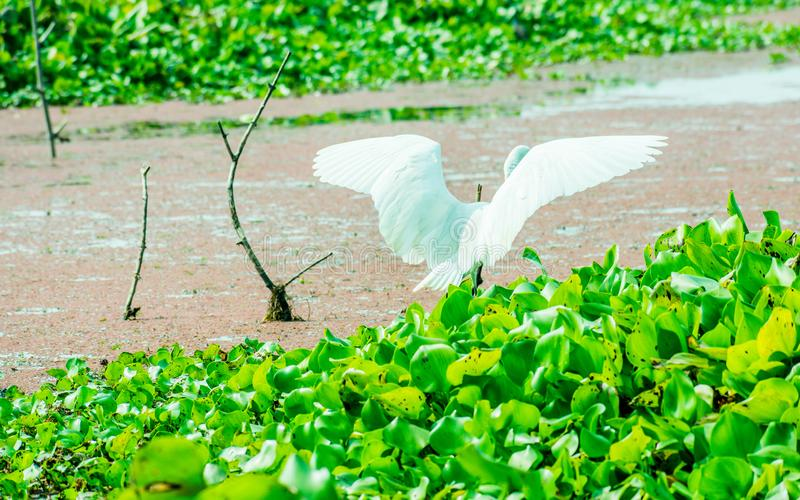En härlig vit svan- eller Cygnusfågel som viftar med dess vingar på sjöfältet med att sväva den vatten- växten i Kumarakom fågelf arkivbilder