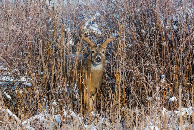 En härlig Vit-tailed hjort som dyker upp från borste på en snöig morgon arkivbilder