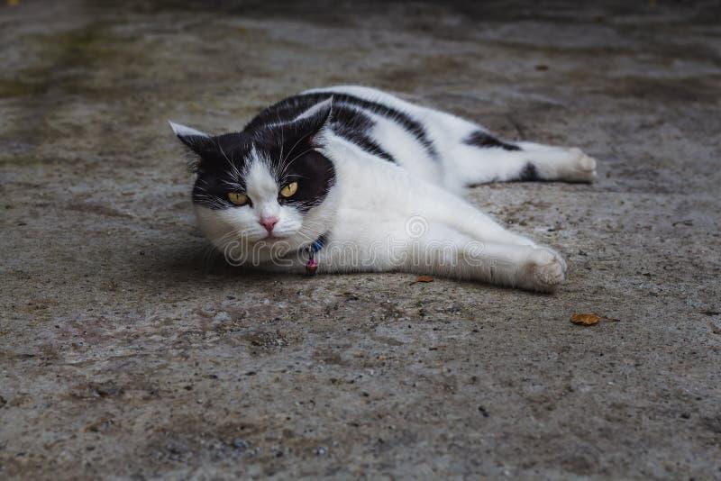 En härlig vuxen ung svartvit katt med stora ögon på en grå konkret yttersida fotografering för bildbyråer