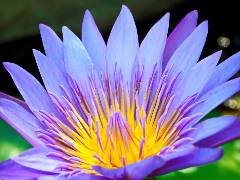 En härliga purpurfärgade Lotus Flower i sjön royaltyfri fotografi