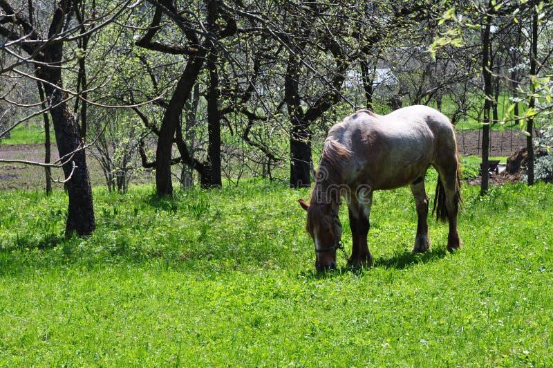 En häst äter grönt saftigt gräs mot bakgrunden av kala träd royaltyfri fotografi