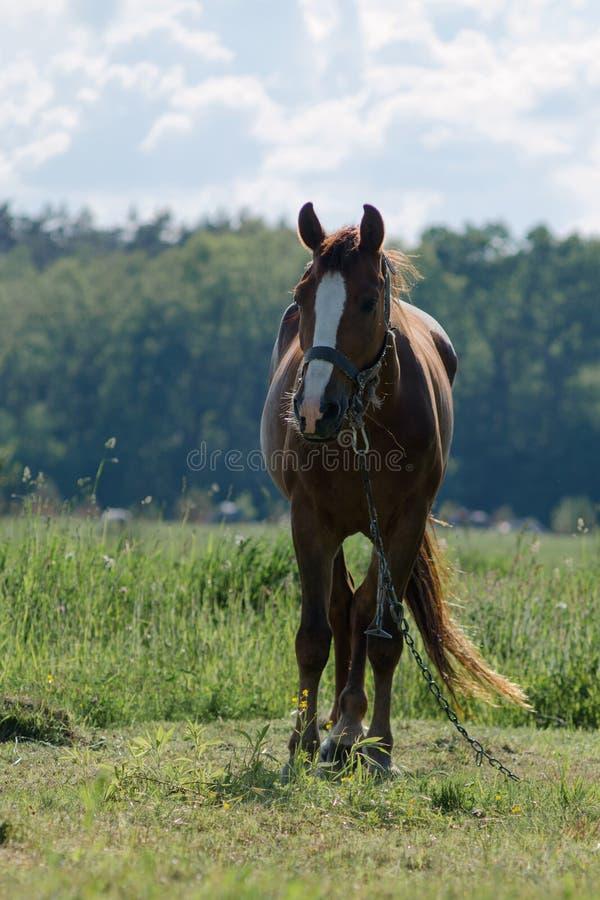 En häst betar fotografering för bildbyråer