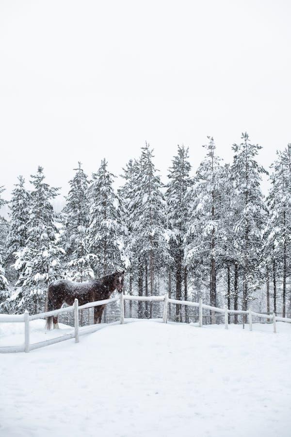 En häst i paddocken i vintern, snöig vinter in arkivfoton