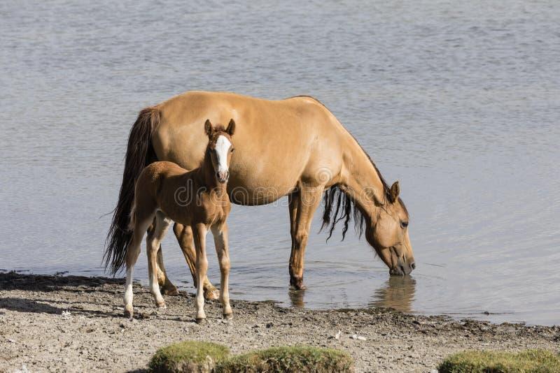 En häststo med hennes föl på sångKul sjön i Kirgizistan arkivfoton