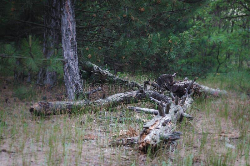 En hög av gamla journaler som glömms i skogen, når att ha avverkat Inte långt från det sågade gamla stället av päfyllning loggar  arkivbild