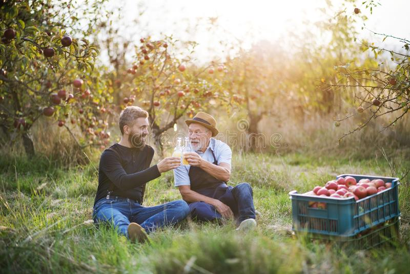 En hög man med den vuxna sonen som rymmer flaskor med äppeljuice i äpplefruktträdgård i höst royaltyfria bilder
