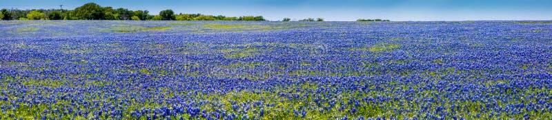 En hög upplösningspanoramautsikt för bred vinkel av ett härligt fält av den berömda Texas Bluebonnet royaltyfria foton