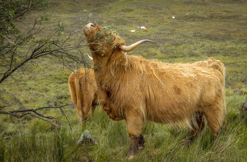 En höglands- ko som äter sidorna från ett träd royaltyfri foto