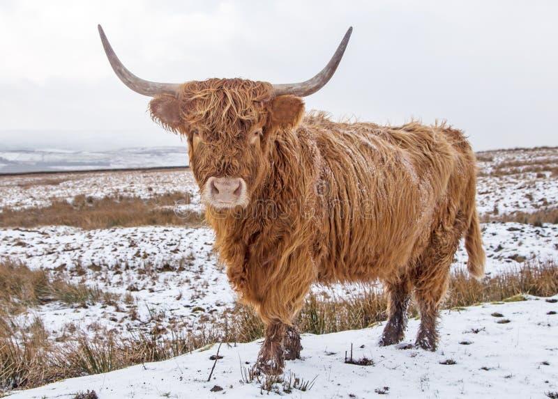 En höglands- tjur på snöig heder royaltyfria bilder