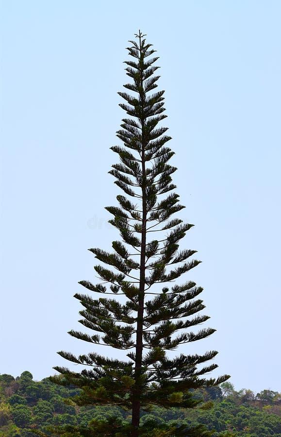 En högväxt kock Pine Tree - araucariaen Columnaris - julgran - som är hög i himmel royaltyfri foto