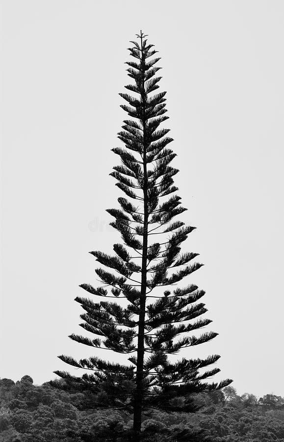 En högväxt kock Pine Tree - araucariaen Columnaris - julgran - som är hög i himmel i Grey Scale royaltyfria foton