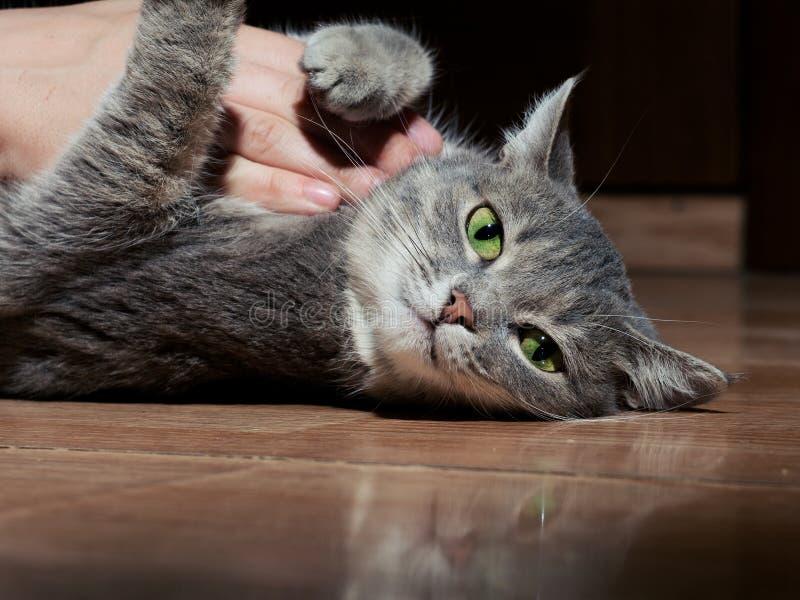 En h?rlig gr? katt med svartvita band som spelar med en man p? golvet N?rbild Katten ?r tr?tt av att spela royaltyfri foto