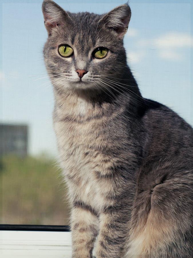 En h?rlig gr? gr?n?gd katt med svartvita band sitter p? f?nsterbr?dan och blickarna in i kameran piercing royaltyfri bild