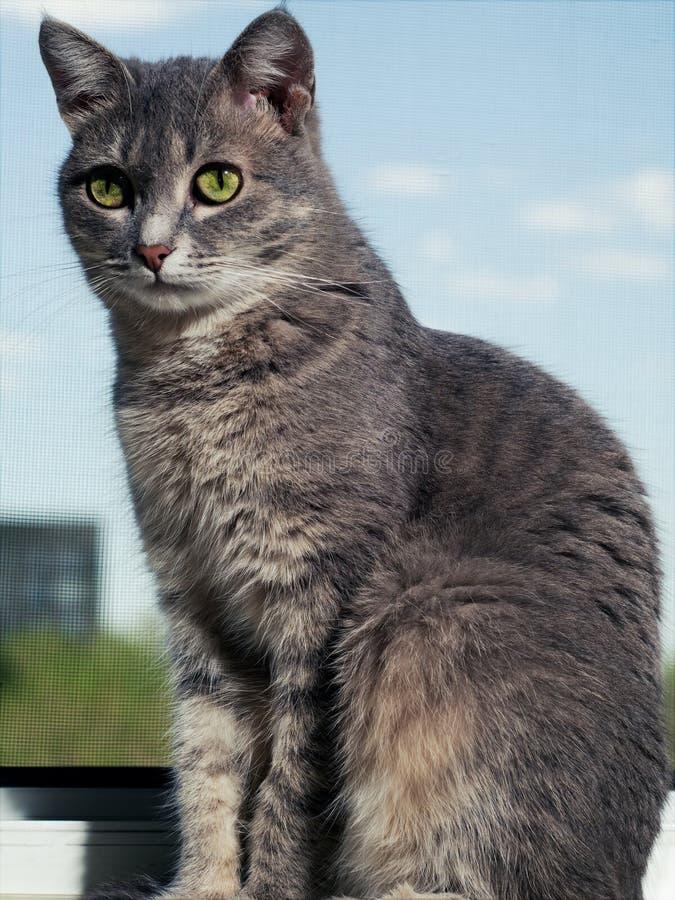 En h?rlig gr? gr?n?gd katt med svartvita band sitter p? f?nsterbr?dan och ser lite i v?g fr?n royaltyfria foton