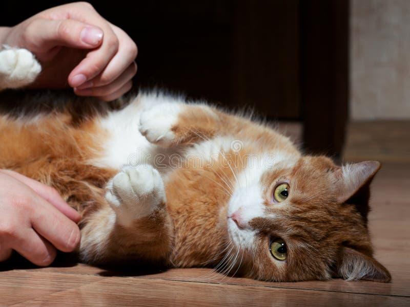 En h?rlig r?d katt med svartvita band som spelar med en man p? golvet N?rbild Katten ?r tr?tt av att spela se royaltyfria foton