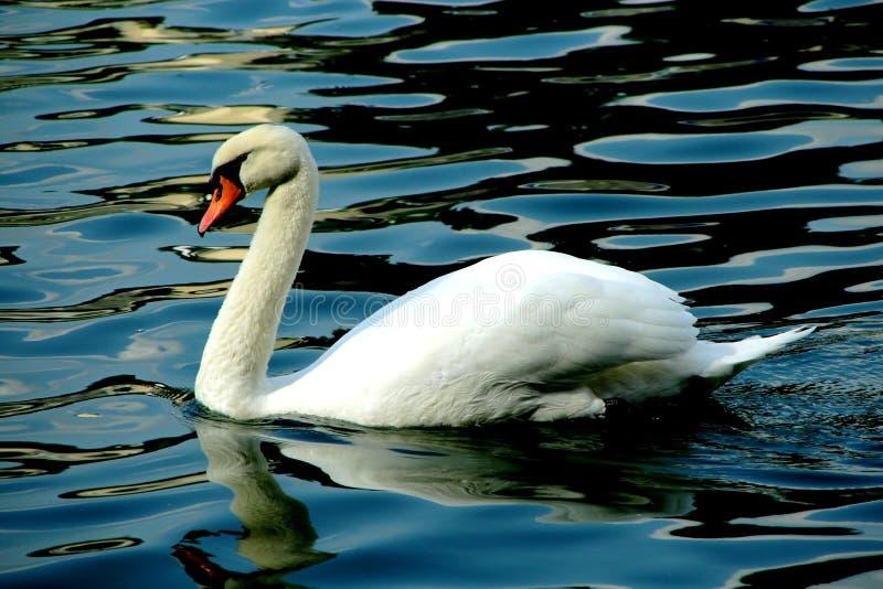 En h?rlig vit svan som behagfullt simmar p? v?gorna royaltyfri fotografi