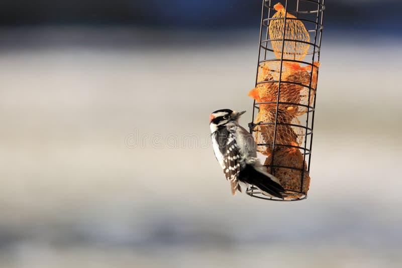 En hackspett söker frö från en fågelförlagematare arkivfoto