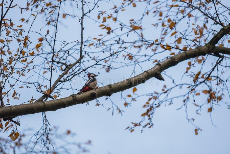 En hackspett sitter på en filial i ett träd arkivfoton