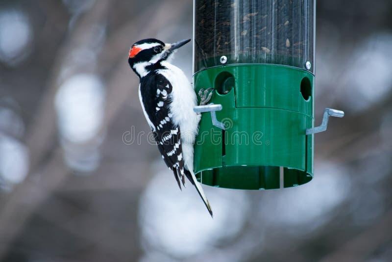 En hackspett som äter från en fågelförlagematare royaltyfria bilder