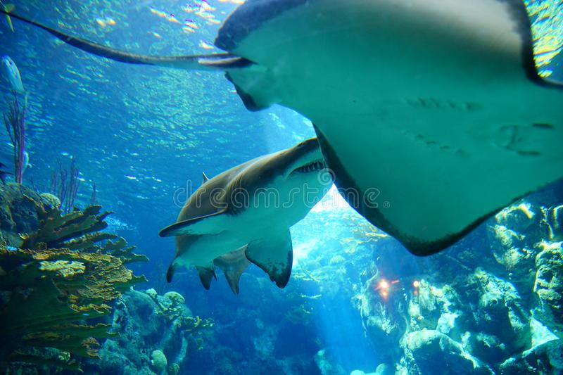 En haj och en stingrocka royaltyfria foton