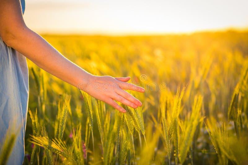En hand för kvinna` som s trycker på försiktigt den gröna veteväxten på fältet arkivfoto