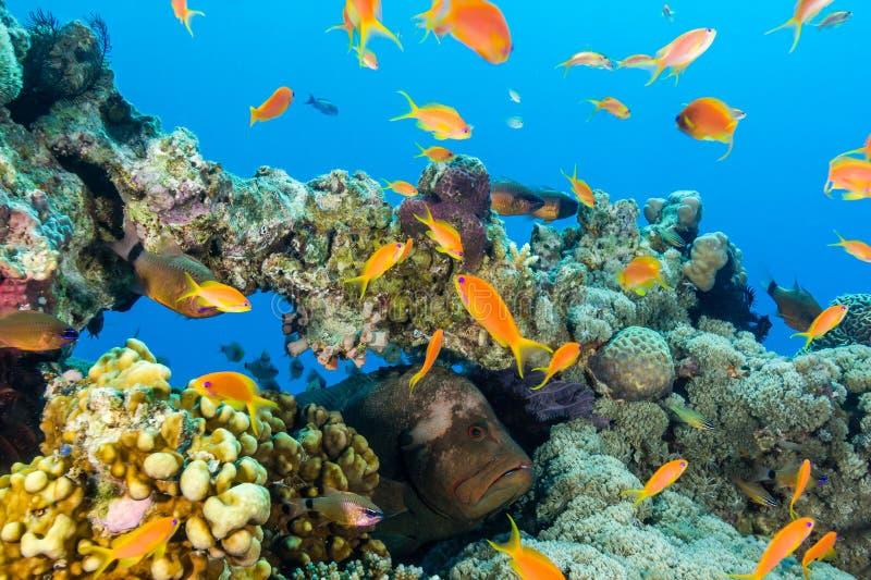 En havsaborre döljer amongst fisken på en korallhöjdpunkt arkivbild