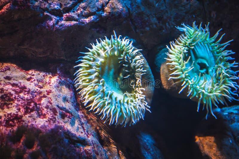 En havsanemon arkivfoton