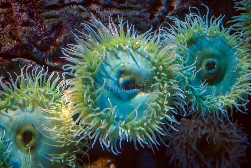 En havsanemon royaltyfria bilder