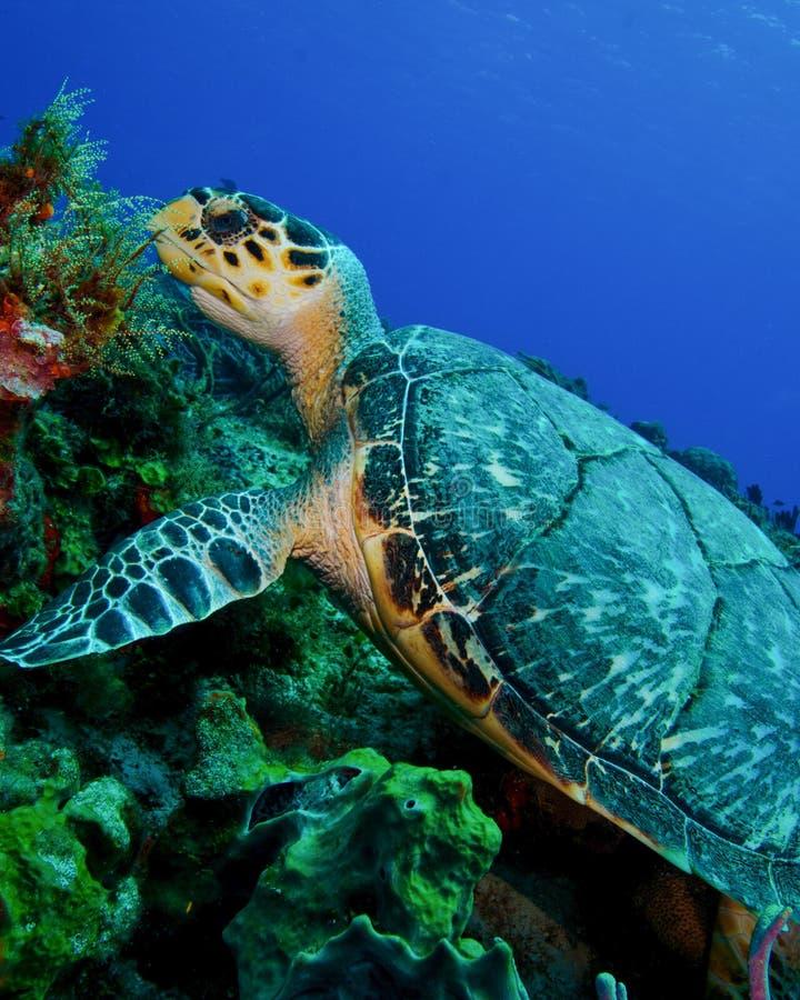 En Hawksbill sköldpadda på reven av Cozumel arkivbild