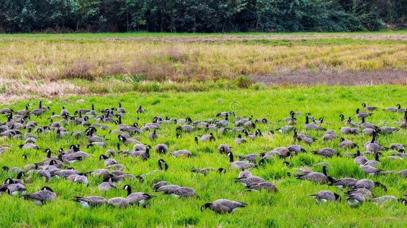 En hel grupp av kanadensisk gäss som tillsammans nisqually flockas i en fågelreserv i Washington arkivbild