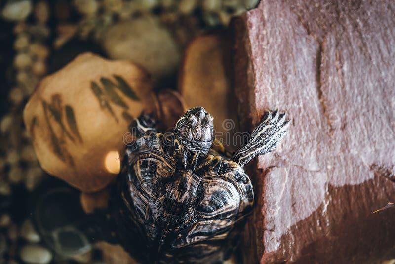 En hem- sköldpadda i akvariumslutet upp royaltyfri foto