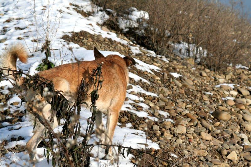 En hemlös hund producerar ett behov för en buske fotografering för bildbyråer
